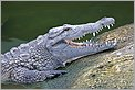 Tête de Crocodile (Canon 10D + 100-400 IS L)