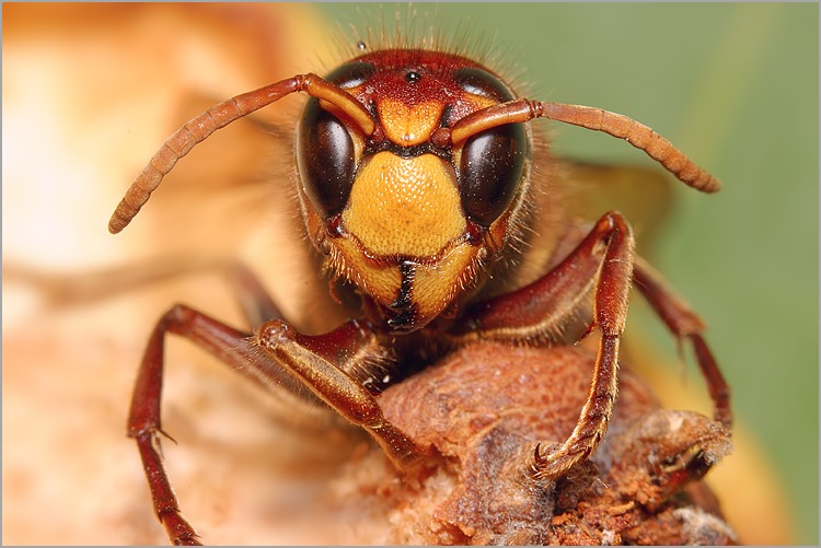 http://www.naturepixel.com/guepe_vespa_crabro_frelon_tete.jpg