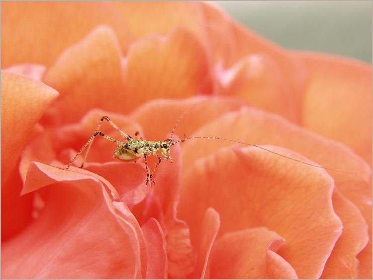 petite sauterelle sur un petale de rose olympus e 10. Black Bedroom Furniture Sets. Home Design Ideas
