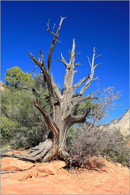 arbre mort zion national park utah usa canon 5d ef 50mm f1 4. Black Bedroom Furniture Sets. Home Design Ideas